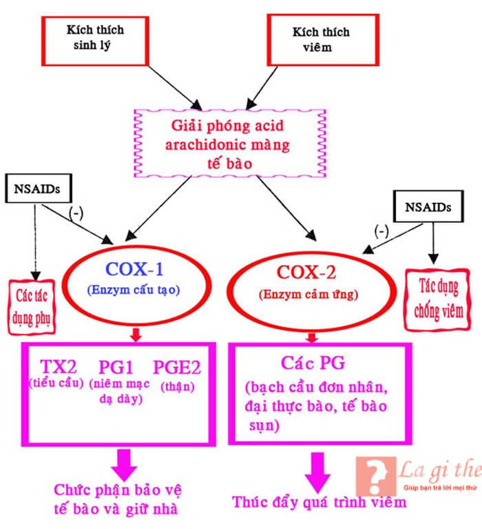 Cơ chế hoạt động của COX 1